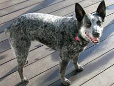 FCI čakalnica - pogojno priznane pasme, Australian stumpy tail cattle dog
