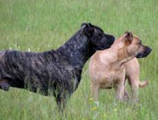 FCI čakalnica - pogojno priznane pasme, Urugvajski divji pes, Cimarron Uruguayo