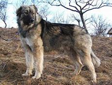 FCI čakalnica - pogojno priznane pasme, Romunski karpatski ovčar
