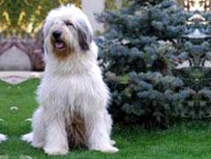 FCI čakalnica - pogojno priznane pasme, Romunski ovčar Mioritic