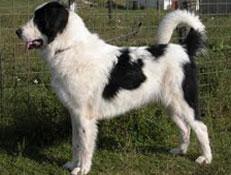 FCI čakalnica - pogojno priznane pasme, Romunski ovčar de Bucovina