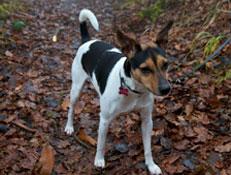 FCI čakalnica - pogojno priznane pasme, Dansko Švedski kmečki pes