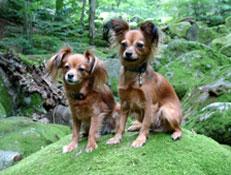 FCI čakalnica - pogojno priznane pasme, Ruski mali terier