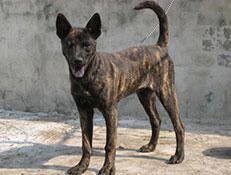FCI čakalnica - pogojno priznane pasme, Tajvanski pes, Taiwan dog