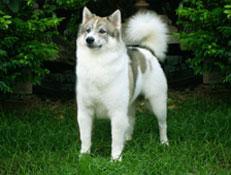 FCI čakalnica - pogojno priznane pasme, Thai Bangkaew dog