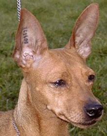 Označevanje psov z značkami ter tetoviranje