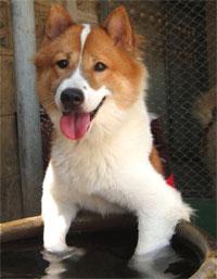 THAI BANGKAEW DOG