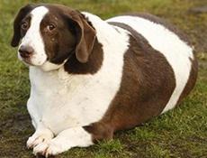 Povečana teža pri psu