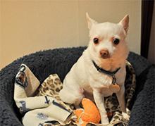 Motnje med brejostjo ter navidezna brejost, Nezaupljiv pes