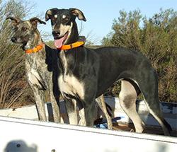 AVSTRALSKI KENGURUJSKI PES (Kangaroo Dog, Roodog, Stag, Australian Greyhound, Australian Kangaroo Dog)
