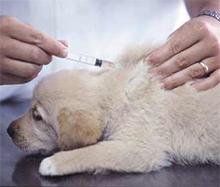 Najpogostejše bolezni psov ter možnost preventivne zaščite, cepljenje psa