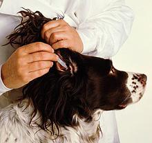 Nega psa, čiščenje in pregledovanje ušes