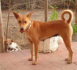 HAHOAWU (Hahoawu dog, Dog River Haho)