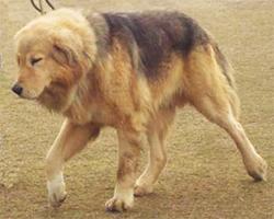 INDIJSKI BANJARA MASTIF (Indian Banjara Mastiff)