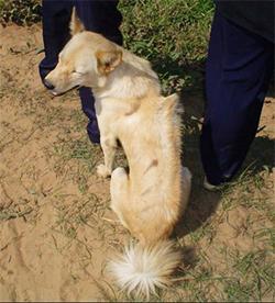 KAMBOŠKI GREBENAR (Cambodian Razorback Dog)