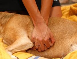 Oživljanje psa, Masaža srca pri majhnih psih