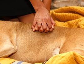 Oživljanje psa, Masaža srca pri velikih psih