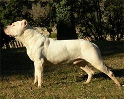 MASTERSONOV BULDOG (Masterson Bulldog)