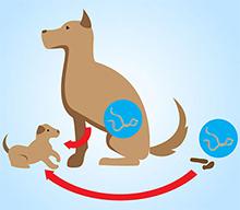Namestitev legla, odpravljanje zajedalcev ter zaščitno ceplenje, notranji zajedalci pri psu