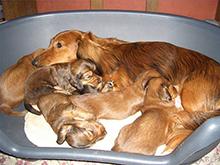 Prehrana brejih in doječih samic ter prehrana starih psov