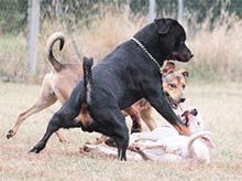 Prevzgoja dominantnega psa