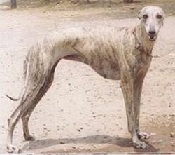 RAMPURSKI HRT (Rampur Greyhound, Rampuri)