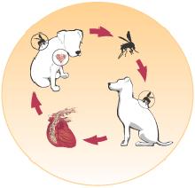 Najpogostejše bolezni psov ter možnost preventivne zaščite, srcna glista